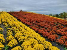 평택시 농업생태원, 국화꽃 만개 가을향기 물씬